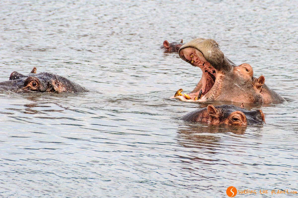 Hipopótamos, Cráter de Ngorongoro, Tanzania