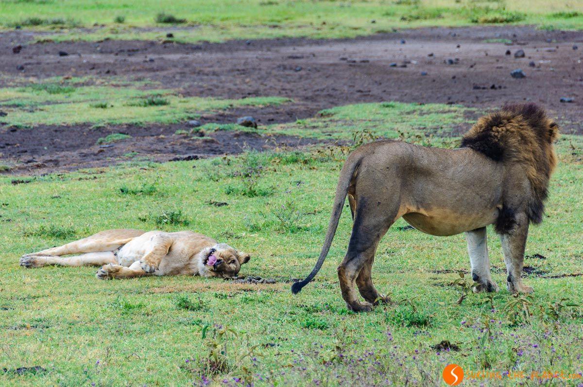 Leones después de copular, Cráter de Ngorongoro, Tanzania