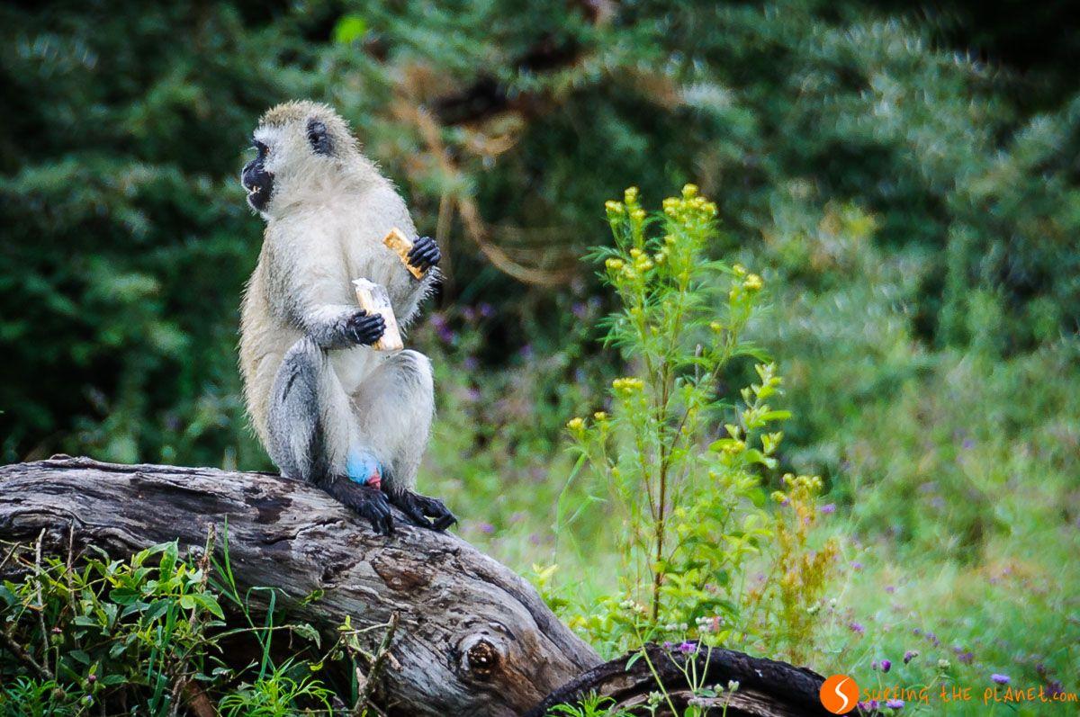 Mono con testículo azul, Cráter de Ngorongoro, Tanzania