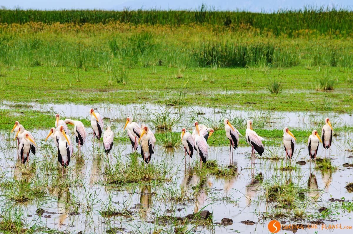 Aves, Lago Manyara, Tanzania | Safari en el Parque Nacional del Lago Manyara