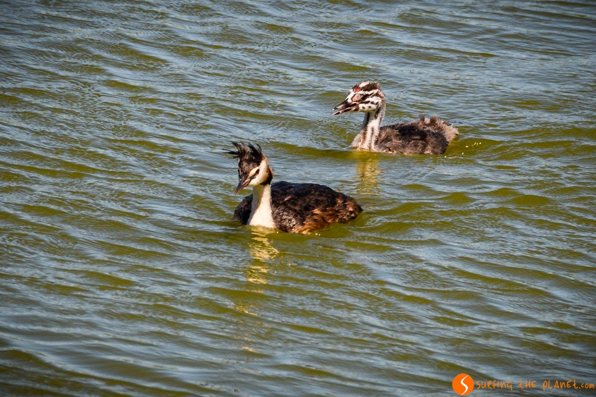 Patos, Delta del Llobregat, Cataluña, España | Excursión al Delta del Llobregat