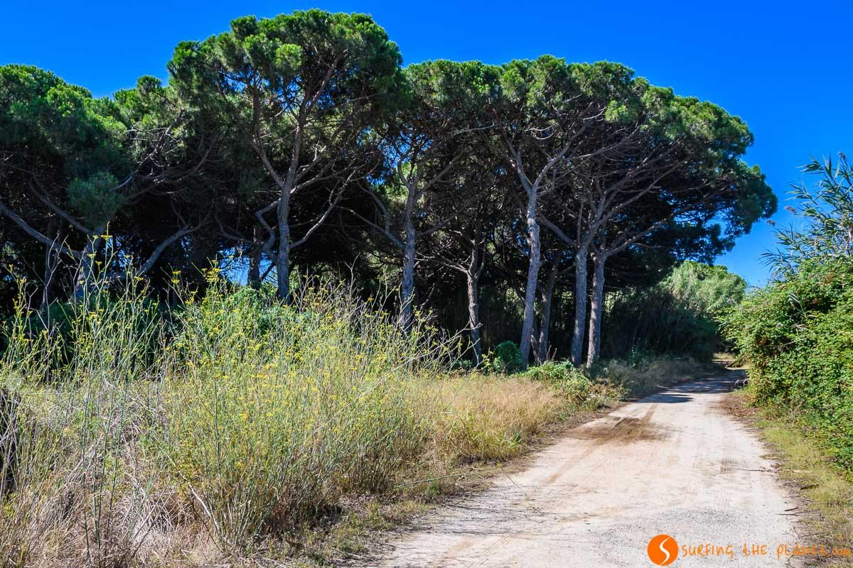 Pinar, Delta del Llobregat, Cataluña, España
