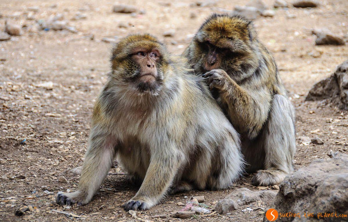 Monos, Bosque Cedro Goraud, Marruecos | Viaje a Marruecos