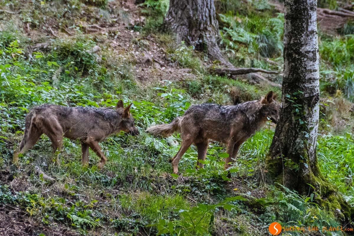 Donde ver lobo ibérico en España  Donde avistar animales en libertad en España