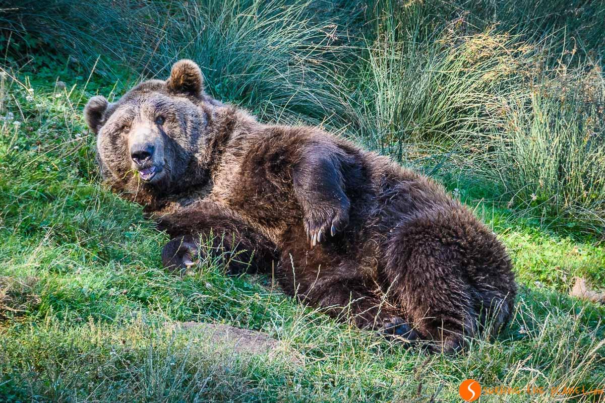 Avistamiento de oso pardo en España   Donde ver animales en libertad en su hábitat natural en España